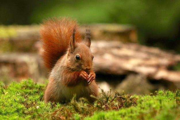 Strzał zbliżenie wiewiórka jedzenie orzechów laskowych
