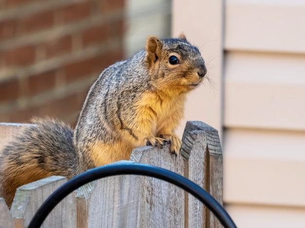 Strzał zbliżenie wiewiórki na drewnianym ogrodzeniu