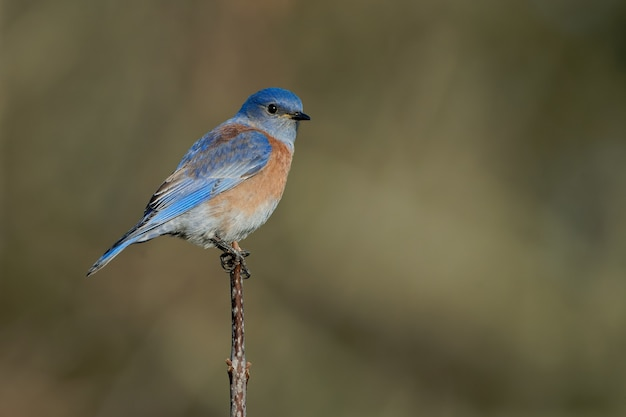 Strzał zbliżenie wschodniego bluebirda siedzącego na gałęzi drzewa z niewyraźną zielenią