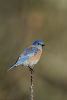 Strzał zbliżenie wschodniego bluebirda siedzącego na gałęzi drzewa z rozmytym ustawieniem