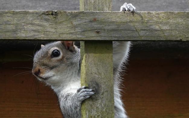 Strzał zbliżenie wschodniej wiewiórki szarej