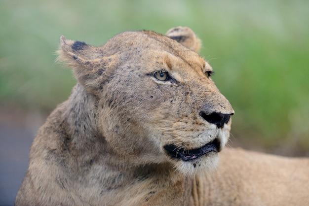 Strzał zbliżenie wspaniałej lwicy na drodze w afrykańskich dżunglach