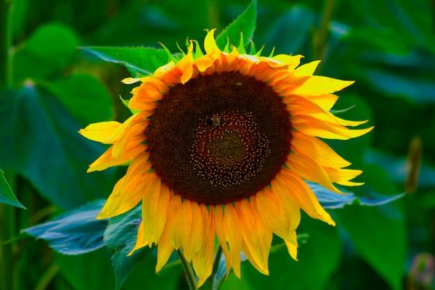 Strzał zbliżenie wspaniały słonecznik