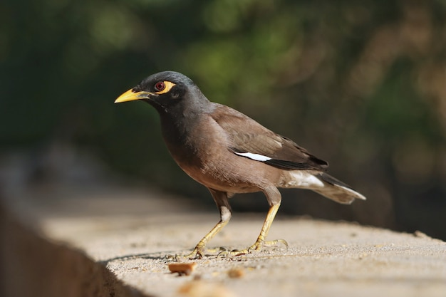Strzał zbliżenie wspólnego ptaka myna siedzącego na betonowej powierzchni
