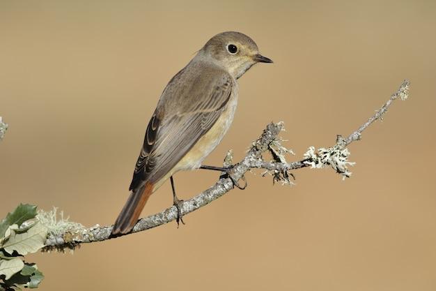 Strzał zbliżenie wspólnego ptaka pleszka zwyczajna siedzący na gałęzi drzewa - phoenicurus phoenicurus