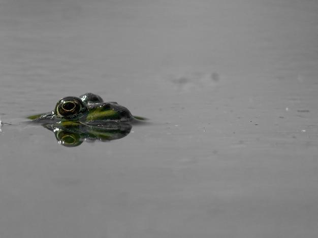 Strzał zbliżenie żaba błotna pelophylax ridibundus w jeziorze w europie