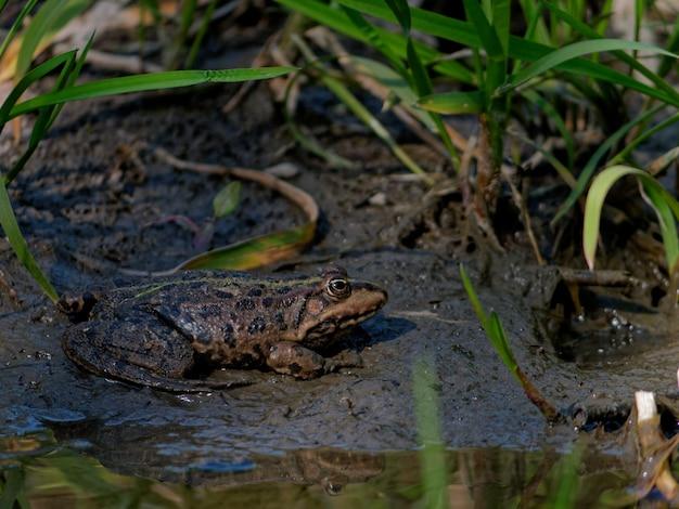 Strzał zbliżenie żaba błotna pelophylax ridibundus w pobliżu jeziora w europie