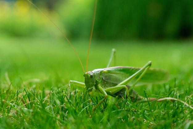 Strzał zbliżenie zielony konik polny na trawie