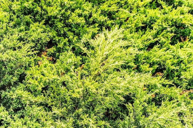 Strzał zbliżenie zielonych sosen