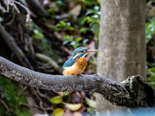 Strzał zbliżenie zimorodek zwyczajny siedzący na gałęzi drzewa