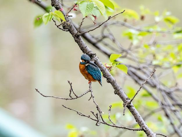 Strzał Zbliżenie Zimorodek Zwyczajny W Japońskim Parku Na Rozmytym Tle Darmowe Zdjęcia