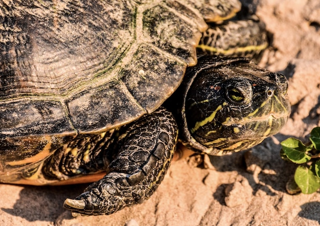 Strzał zbliżenie żółwia żółwia czerwonego