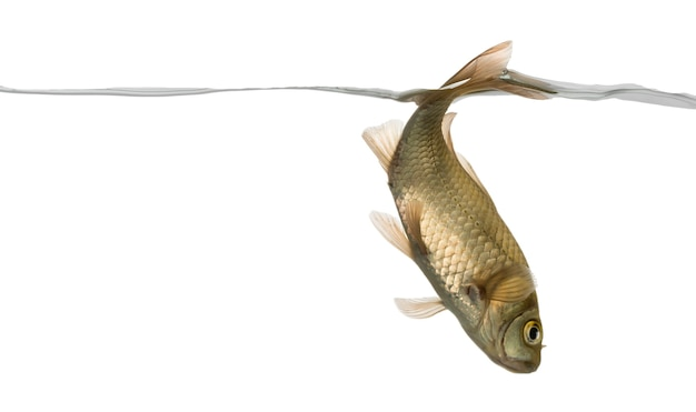 Strzebla zwyczajna pływająca w dół, pod linią wody, phoxinus phoxinus, na białym tle