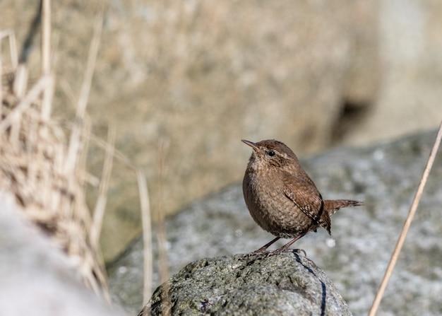 Strzyżyk euroazjatycki, troglodyta troglodyta. ptak siedzący na skale, patrząc w lewo, kopia przestrzeń po lewej stronie.