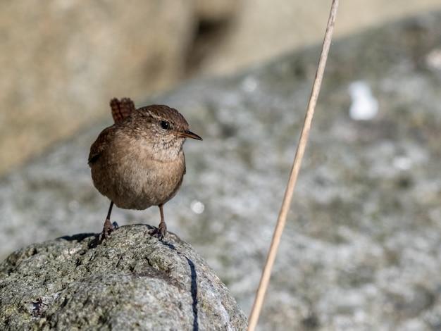 Strzyżyk euroazjatycki, troglodyta troglodyta. ptasi obsiadanie na skale na słonecznym dniu.
