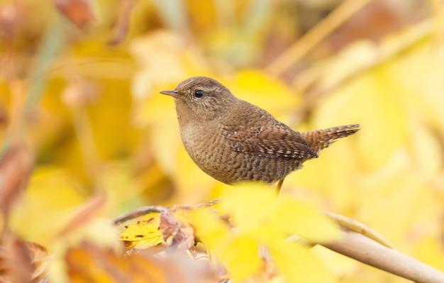 Strzyżyk na tle liści jesienią złote