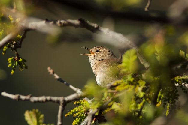 Strzyżyk śpiewa w wiosennym drzewie