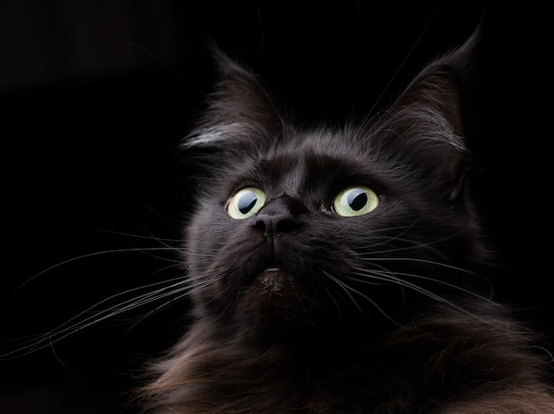 Studio portret pięknej kotki rasy maine coon