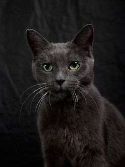 Studio portret relaksujący ciemny szary kot na ciemnym tle w trybie low-key