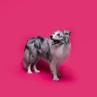 Studio strzał śliczny border collie pies