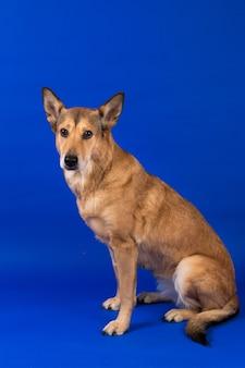 Studio strzałów zainteresowanych pies siedzi, patrząc na kamery, na niebiesko