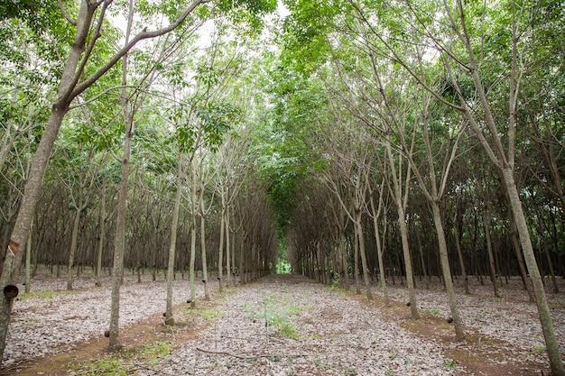 Stukanie soku z drzewa kauczukowego na tajlandii.