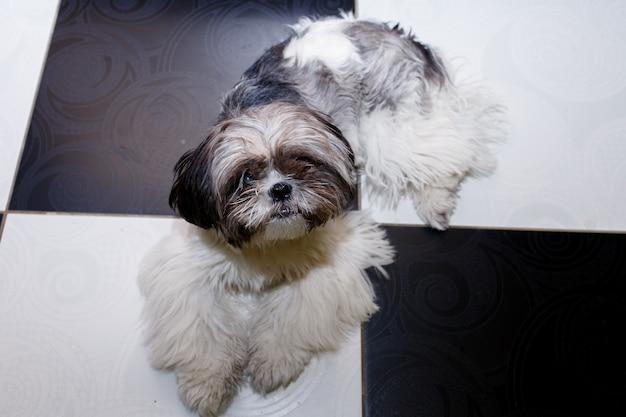 Styl życia, zwierzę, koncepcja piękna - pies shih tzu leżący we wnętrzu domu