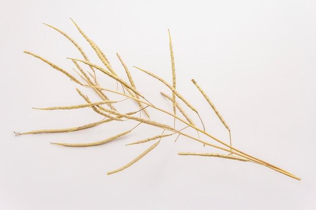 Sucha dekoracyjna trawa odizolowywająca na białym tle. świetny element bukietu w florystyce. roślina ozdobna dla atrakcyjnych kompozycji kwiatowych
