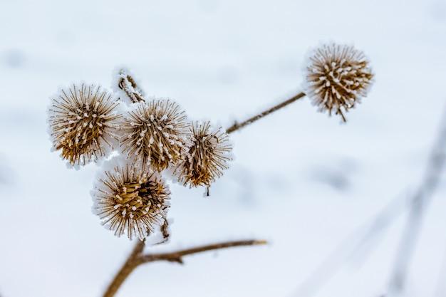Sucha gałąź ostu, pokryta szronem, na tle śniegu_