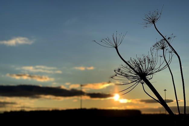 Sucha krowa pasternaka roślina przeciw niebieskiemu niebu