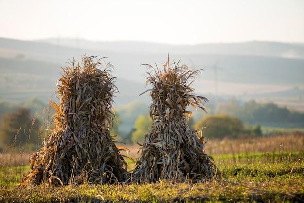 Sucha kukurudza podkrada się złotych snopy w pustym trawiastym polu po żniwa na mgłowych wzgórzach i bezchmurnej niebieskie niebo kopii przestrzeni tle przy spadkiem. pokojowy mglisty krajobraz, wiejska jesień panorama.