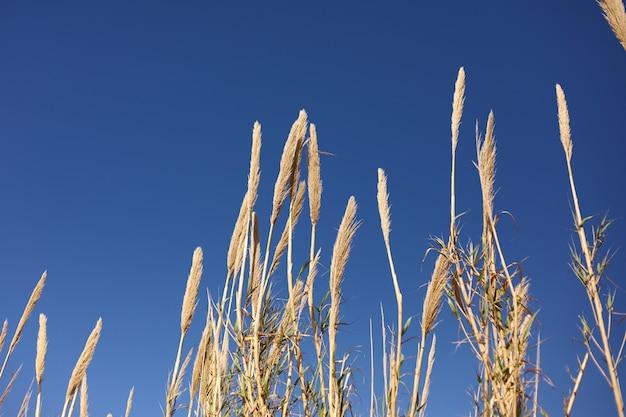 Sucha trawa na niebieskie niebo ścianie. kopia przestrzeń. selektywna ostrość