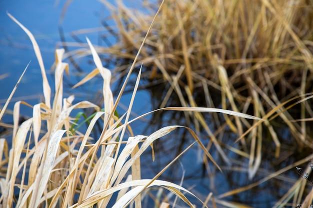 Sucha trawa na niebieskim tle wody jeziora. jesień obraz tła. zbliżenie suchej martwej rośliny