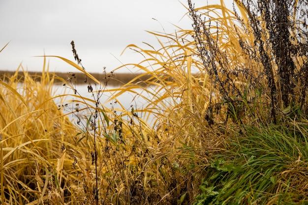 Sucha trawa rośnie na brzegu jeziora. piękny naturalny obraz tła. żółto-zielona jesienna trawa rośnie nad wodą