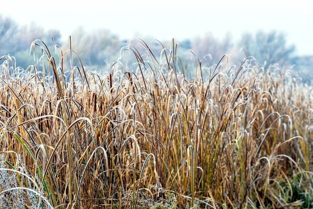 Sucha trzcina na brzegu rzeki pokryta szronem, poranny mróz