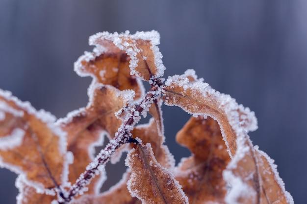 Suche brązowe liście dębu pokryte szronem