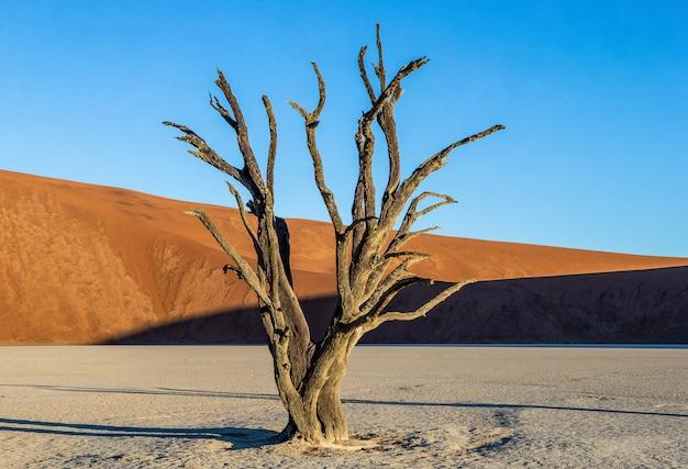 Suche drzewa i czerwone wydmy o pięknej fakturze piasku