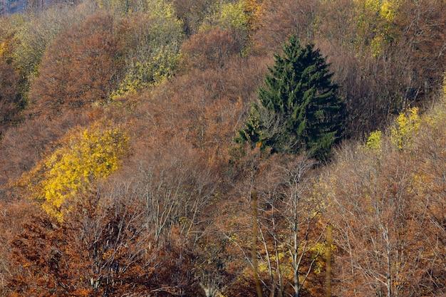 Suche drzewa i pojedynczy zielony świerk w górach medvednica w zagrzebiu w chorwacji