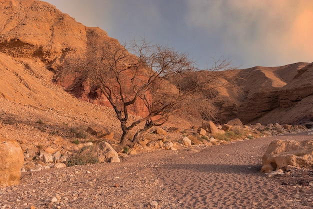 Suche drzewo na pustyni o zachodzie słońca