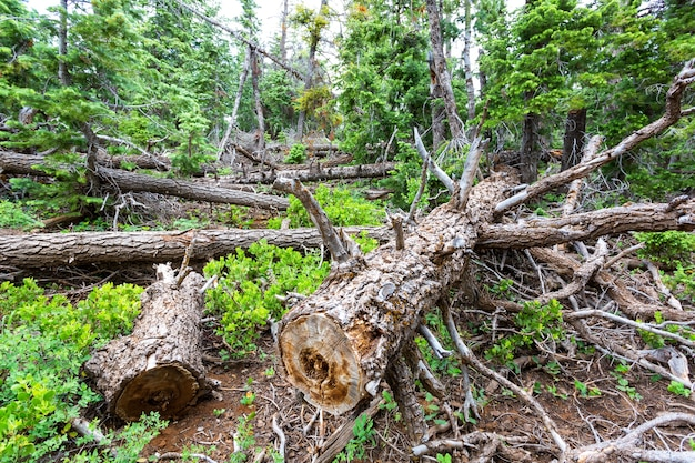 Suche drzewo w lesie