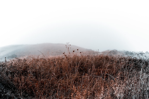 Suche gałęzie pszenicy na polu w mglisty dzień