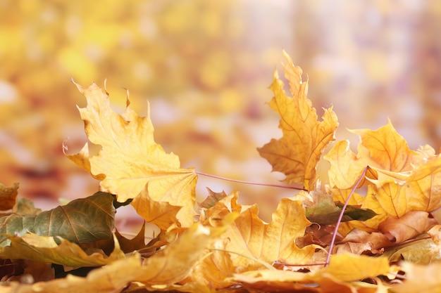 Suche jesienne liście klonu na żółto