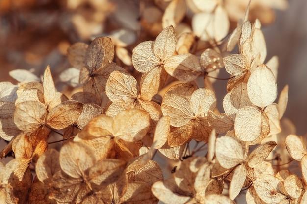 Suche kwiaty hortensji na krzaku