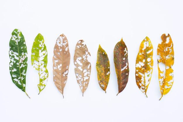 Suche liście z dziurami, zjedzone przez szkodniki na białym.