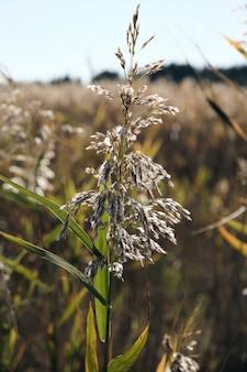 Suche łodygi trzcin nad stawem kołyszą się na wietrze w jesienny dzień