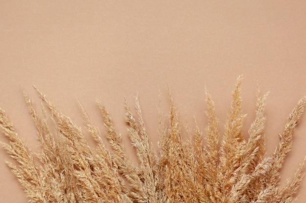 Suche pampasysucha trawa pampasowa na pastelowym beżowym tle.