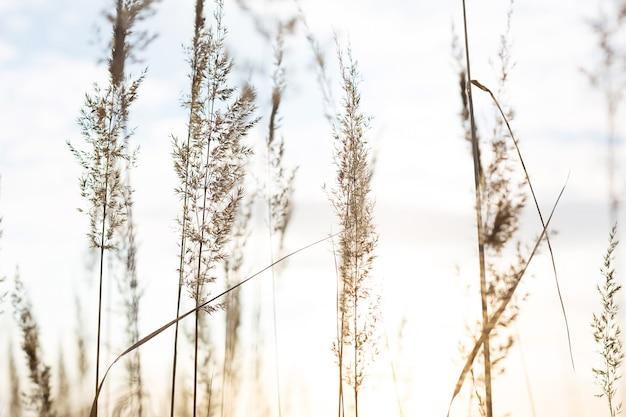 Suche wiechy pampasów na tle nieba. przyroda, ozdobne dzikie trzciny, ekologia