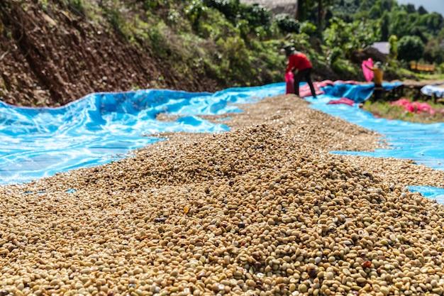 Suche ziarna kawy na podłożu i rolnik tle lokalnego biznesu