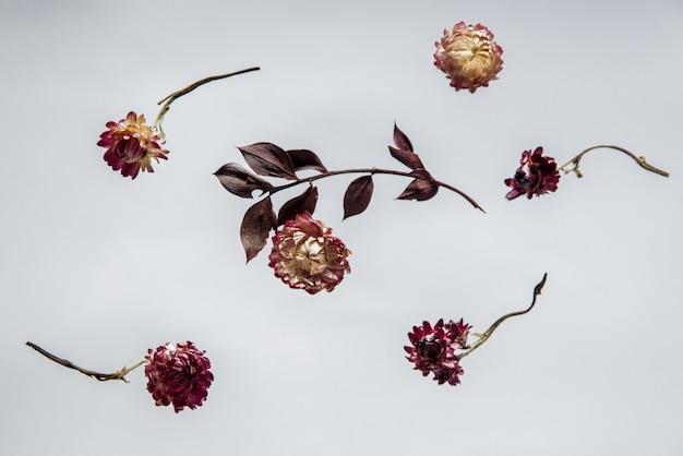 Suche ziele bellis z kwiatami na szarym tle na białym tle. bez cieni