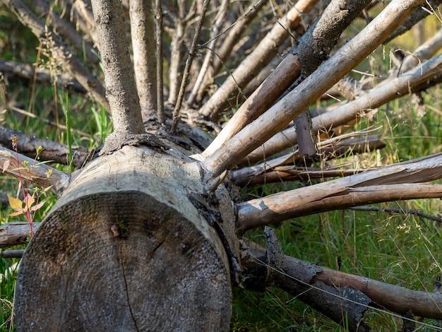 Suche zwalone drzewo z wieloma gałęziami z bliska. problemy w lasach, niebezpieczeństwo pożarów